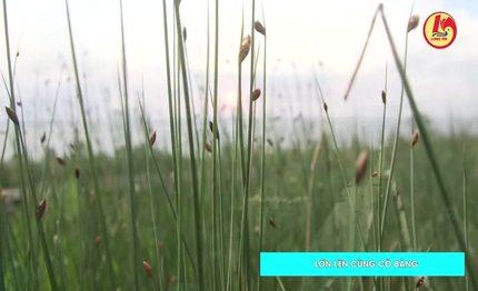 Lớn lên cùng cỏ bàng
