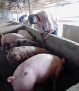 Chăn nuôi an toàn sinh học: Từng bước giải quyết khó khăn