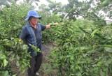 Chanh không hạt Thuận Bình - Sản phẩm tiêu biểu cấp quốc gia
