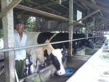 Đức Hòa: Nông dân nuôi bò lúng túng tìm đầu ra cho sữa