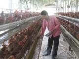 Từng bước tháo gỡ khó khăn cho ngành chăn nuôi gia cầm Việt Nam