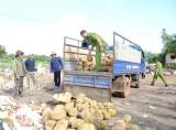 Tiêu hủy hơn 1.300kg sầu riêng nhúng hóa chất