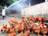Phát hiện 3 ổ dịch cúm gia cầm ở Vĩnh Long, Ninh Thuận, Sóc Trăng