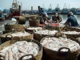 Ngư dân Cà Mau trúng mùa mực, lãi tới 70 triệu đồng mỗi chuyến