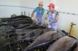 Chủ tịch nước dự lễ giao nhận công nghệ khai thác cá ngừ của Nhật