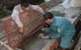 """Nhiều nông dân """"đổi đời"""" nhờ nuôi đặc sản cá chiên"""