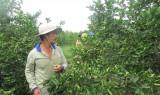 Diện tích trồng chanh tăng trên 600ha