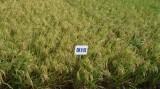 Chọn giống lúa đối phó với hạn hán và xâm nhập mặn tốt như thế nào?