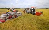 ĐBSCL làm rõ nguyên nhân khiến giá lúa tăng vọt
