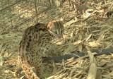 Thả một cá thể mèo rừng quý hiếm về với tự nhiên