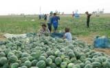 Trồng dưa hấu dưới chân ruộng giúp nông dân vùng hạn tăng thu nhập