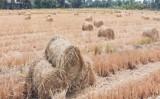 Thủ Thừa - Long An: Hạn, mặn xâm nhập, rơm ngày càng khan hiếm