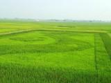 """Độc đáo bản đồ Việt Nam rộng 0,5ha """"in"""" trên cánh đồng lúa"""
