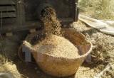Sản lượng gạo toàn cầu vẫn giảm do tác động của hiện tượng El Nino