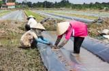 Thủ Thừa: Nông dân xuống giống trên 50ha dưa hấu vụ Hè Thu