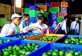 Nông dân Myanmar tham quan, học tập mô hình chanh không hạt tại Bến Lức