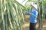 Kỳ 2: Hiệu quả từ cây thanh long