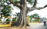 Cây Trôm Khánh Hậu đã được đăng ký cây di sản Quốc gia