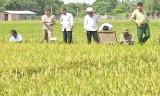 Đức Huệ trồng thử nghiệm 5 giống lúa mới