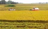 Năm 2017: Tân Thạnh phấn đấu đạt hơn 460.000 tấn lúa