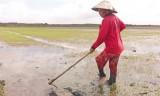 Tân Hưng xuống giống tự phát, nhiều diện tích lúa bị thiệt hại