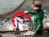 Sản xuất cá tra tiếp tục chịu lỗ, ngành tôm nuôi có nhiều thuận lợi