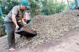 """Giá điều tăng kỷ lục: nông dân lại """"được giá mất mùa"""""""