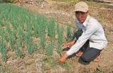 Cần Giuộc: Nông dân tất bật chăm sóc rau màu tết