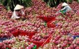 Australia công bố điều kiện nhập khẩu cuối với thanh long Việt Nam