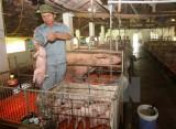 Chính thức đưa Cysteamine vào danh mục chất cấm trong chăn nuôi