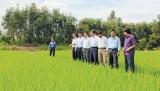 Tân Thạnh: Sắc Xuân trên vùng lúa chất lượng cao