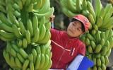 Chuối Việt Nam xuất khẩu: Tại sao nơi tắc, nơi thông?