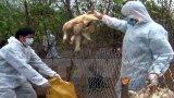 Cục Thú y công bố xảy ra 13 ổ dịch cúm gia cầm tại 7 tỉnh