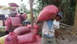 Vụ lúa Đông Xuân 2016-2017: Nông dân Long An gặp nhiều khó khăn