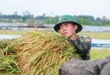 Khẩn trương cắt lúa chạy lũ