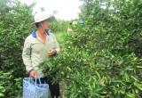 Thuận Bình: Nỗi lo tìm đầu ra ổn định cho chanh không hạt