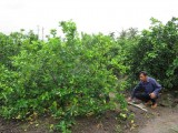 Bến Lức ứng dụng công nghệ cao trong trồng chanh