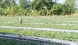 Bình Tịnh chuyển đổi cơ cấu cây trồng theo hướng bền vững