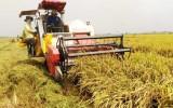 Tập trung phát triển vùng lúa chất lượng cao