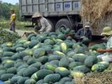 Doanh nghiệp Việt Nam-Trung Quốc ký hợp đồng thu mua dưa hấu 2018
