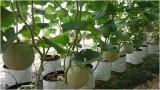 Trồng dưa lưới trên giá thể trong nhà màng, thụ phấn bằng ong - Mô hình phù hợp vùng Đồng Tháp Mười của tỉnh
