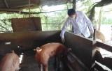 Tăng cường phòng, chống bệnh lở mồm long móng trên gia súc