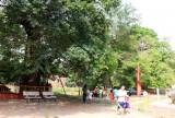 Ba cây bằng lăng nước ở An Giang được công nhận là Cây di sản