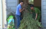 Phát hiện gần 150 vụ trồng cây cần sa trái phép tại Hậu Giang
