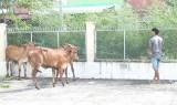 Hỗ trợ bò giống cho hộ nghèo