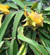 Thanh long đột biến trái, nhánh đều có màu vàng