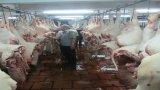 Các địa phương chủ động phòng, chống dịch bệnh trên gia súc, gia cầm