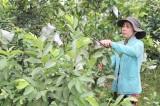 Hiệu quả từ mô hình trồng ổi xen canh bưởi da xanh