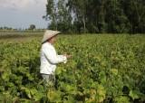 Chuyển đổi cơ cấu cây trồng gắn với bảo đảm đầu ra