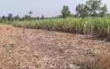 Thủ Thừa: Nông dân lo lắng vì thương lái không mua mía